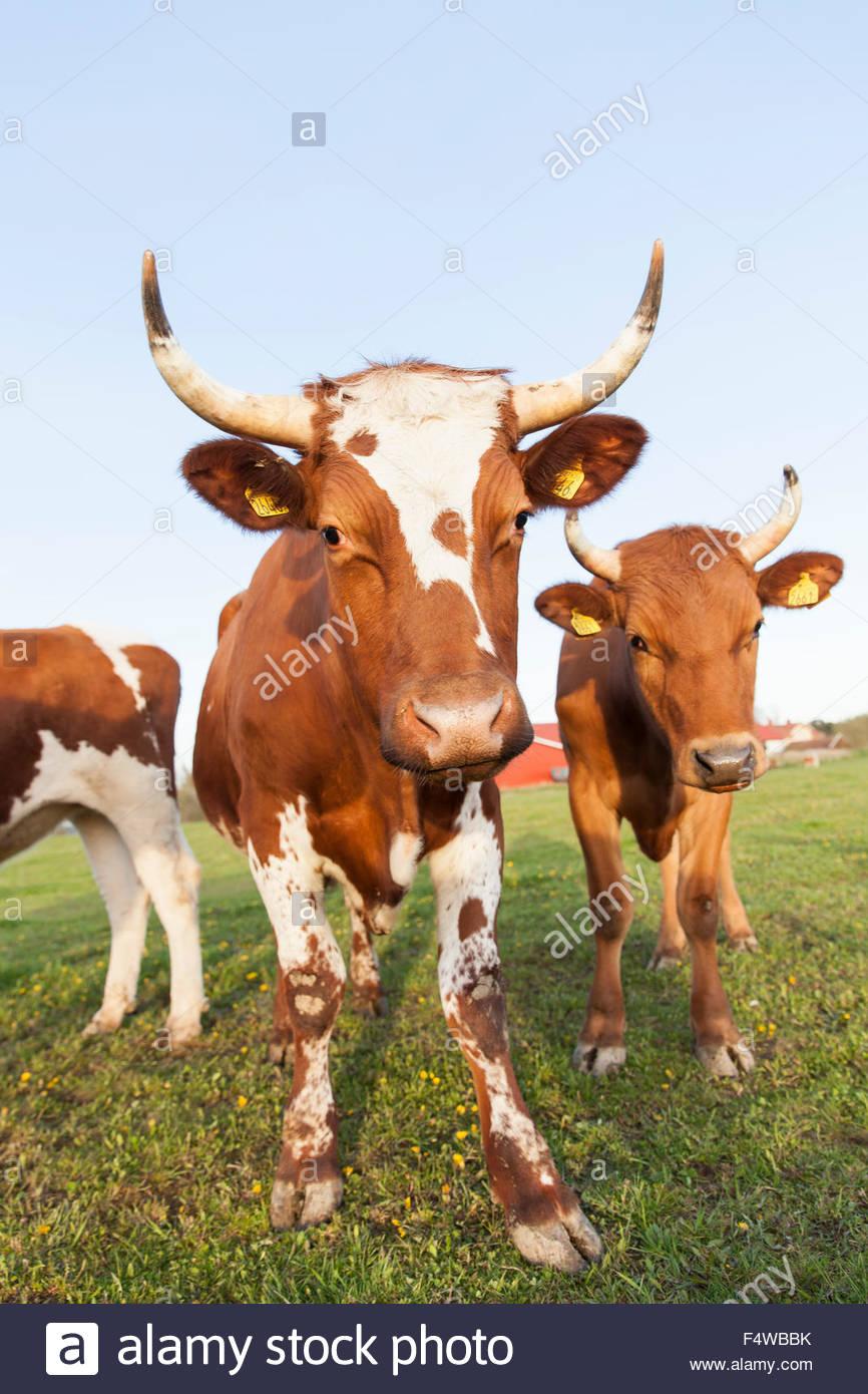 Sweden, Sodermanland, Jarna, Close-up shot of bulls in farm pastureland - Stock Image
