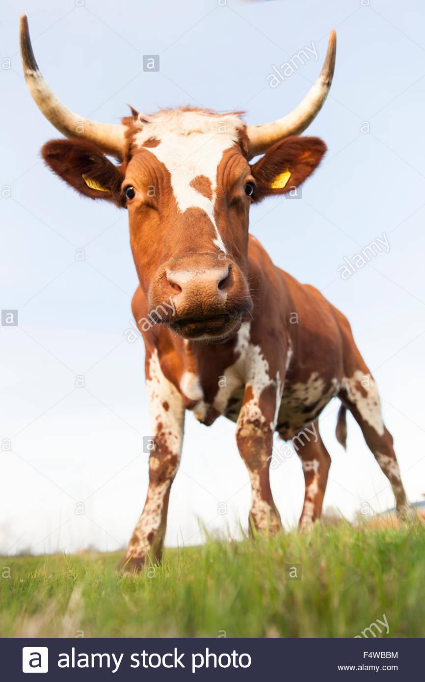 Sweden, Sodermanland, Jarna, Close-up shot of bull in pastureland - Stock Image