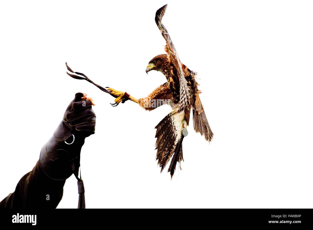 eagle grabbing the bait off a person, harris hawk - Stock Image