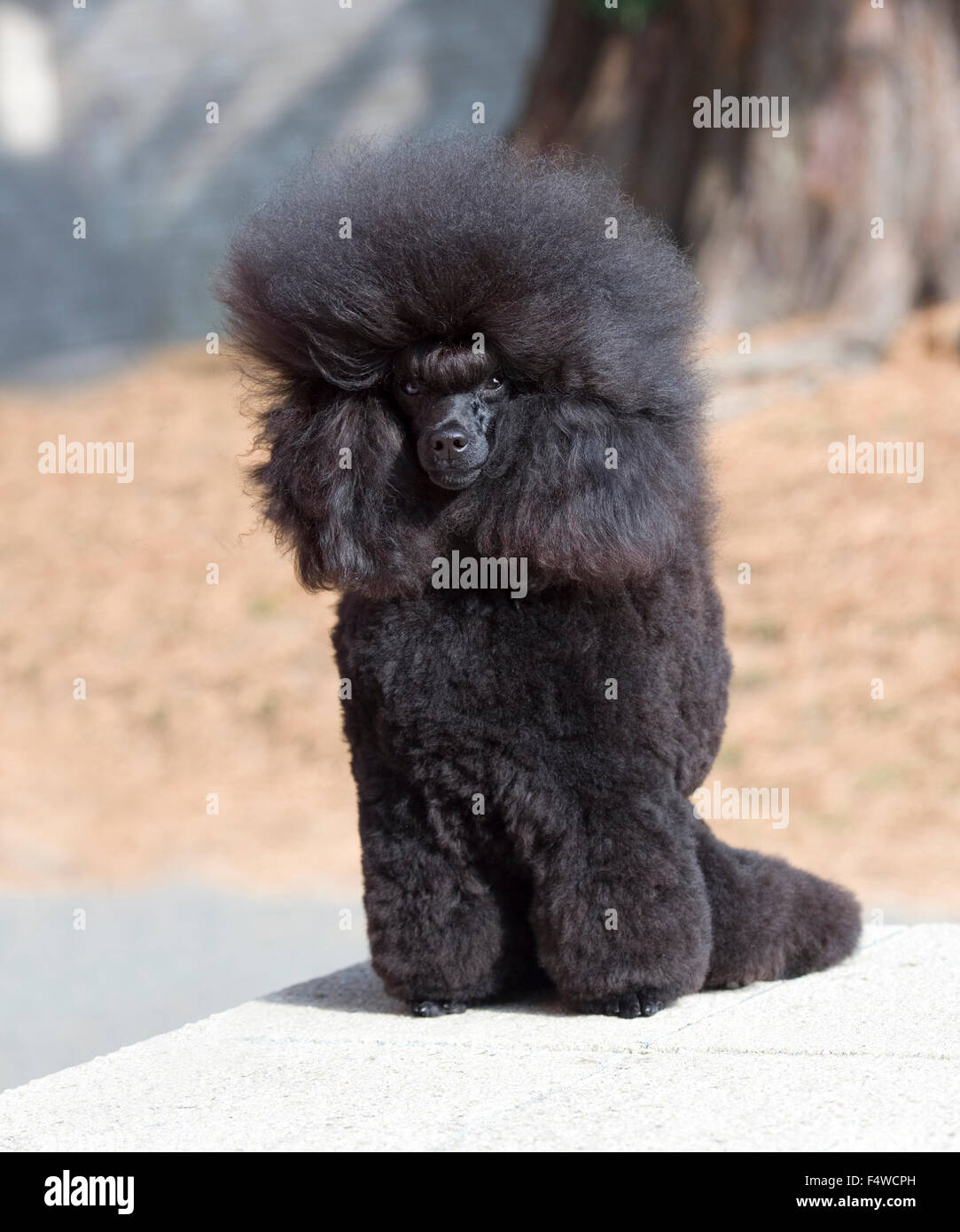 black toy poodle - Stock Image