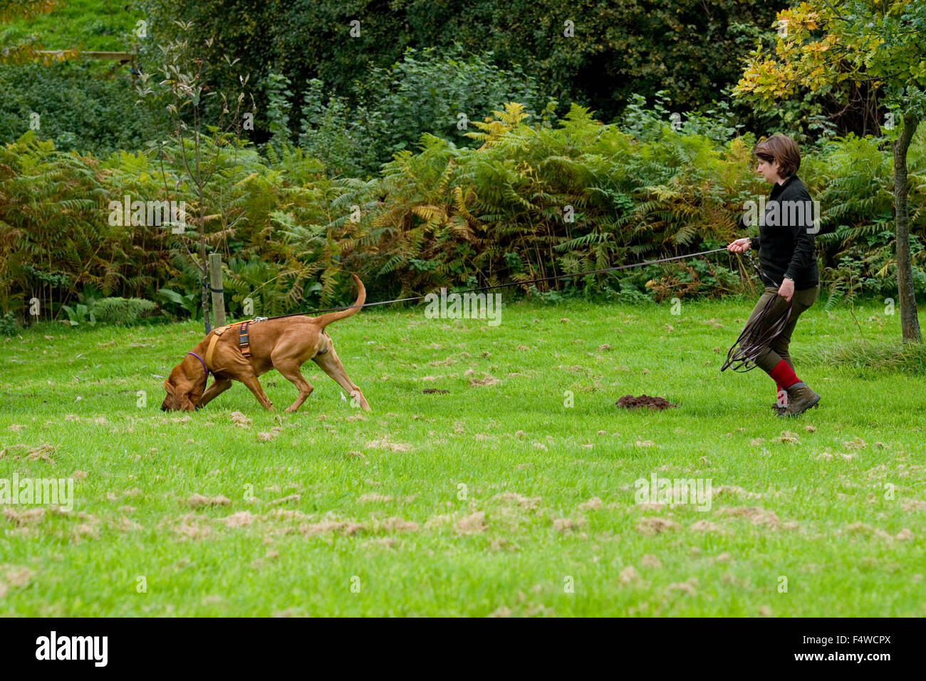 Bloodhound tracking - Stock Image