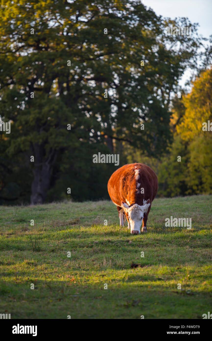 Cow (bos taurus) in pasture - Stock Image