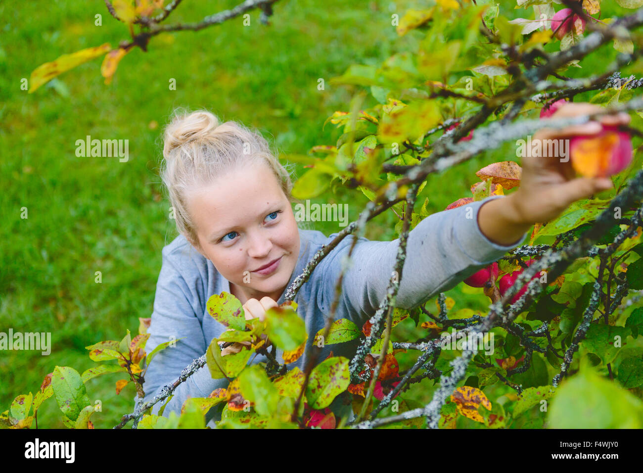 Finland, Uusimaa, Sipoo, Woman reaching for apple on branch - Stock Image