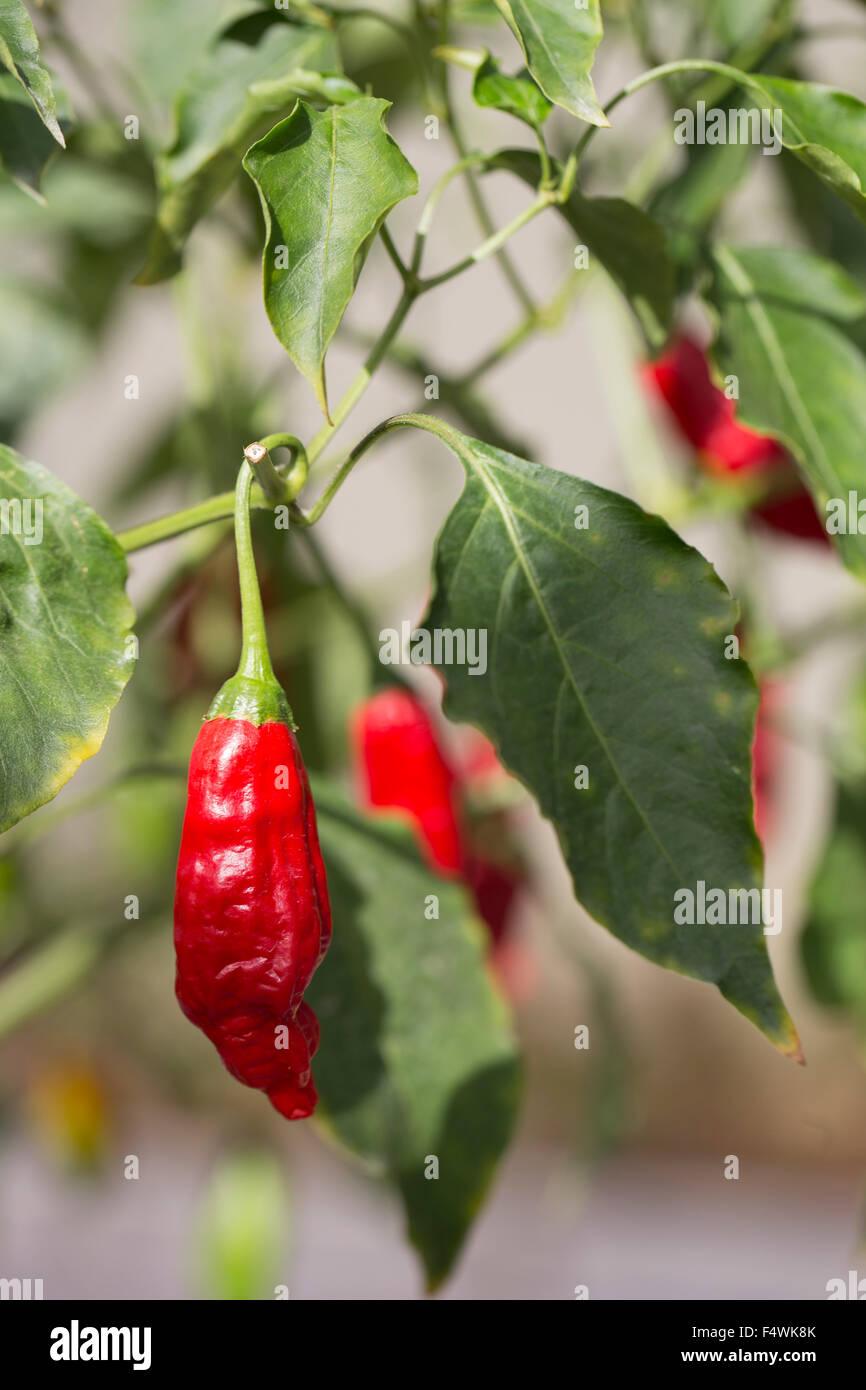 red pepper, chilli pepper, hot pepper - Stock Image