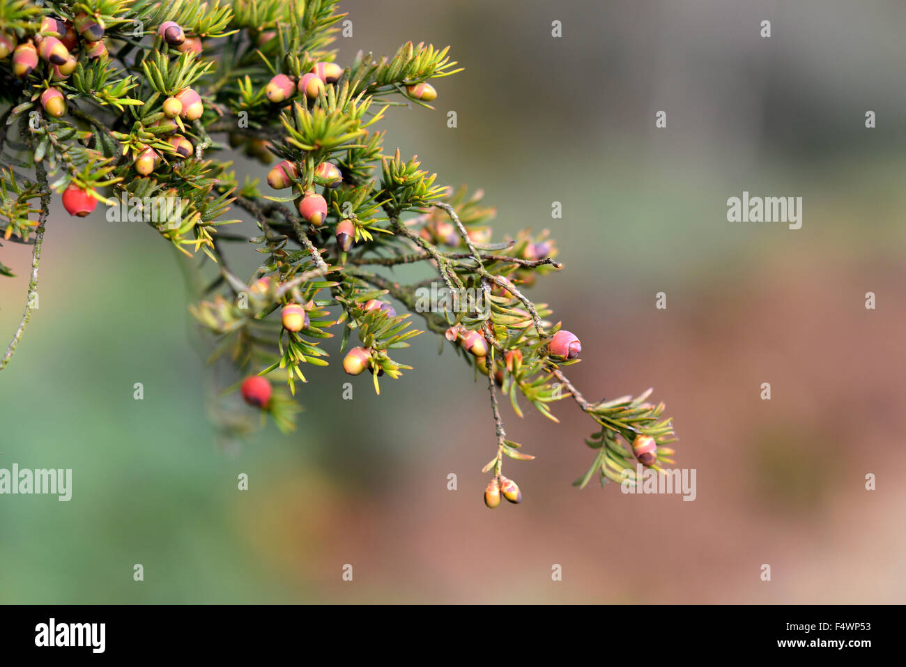 Yew tree berries (aril) - the only part of a yew tree that is edible - Stock Image