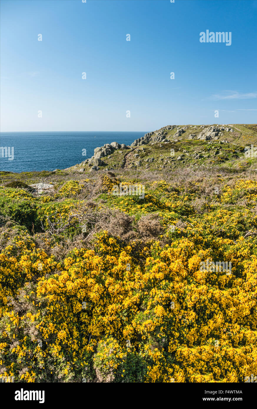 Yellow Gorse flower in a scenic coastal landscape at Lands End, Cornwall, England, UK | Gelbe Stechginster Buesche - Stock Image