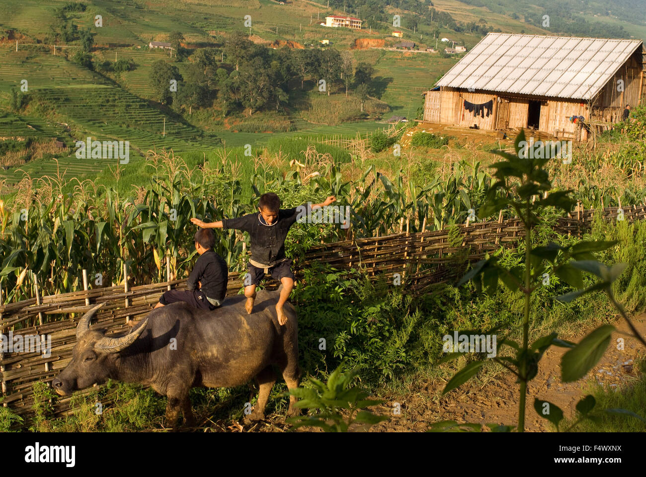 Children playing with a buffalo next to the rice terraces nearby of Lao Chai village. Trekking Sapa to Lao Chai. Stock Photo
