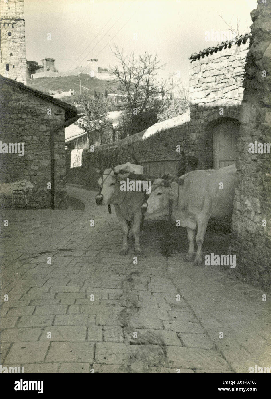 Two oxen attached to a yoke on the streets of the town, Italy - Stock Image