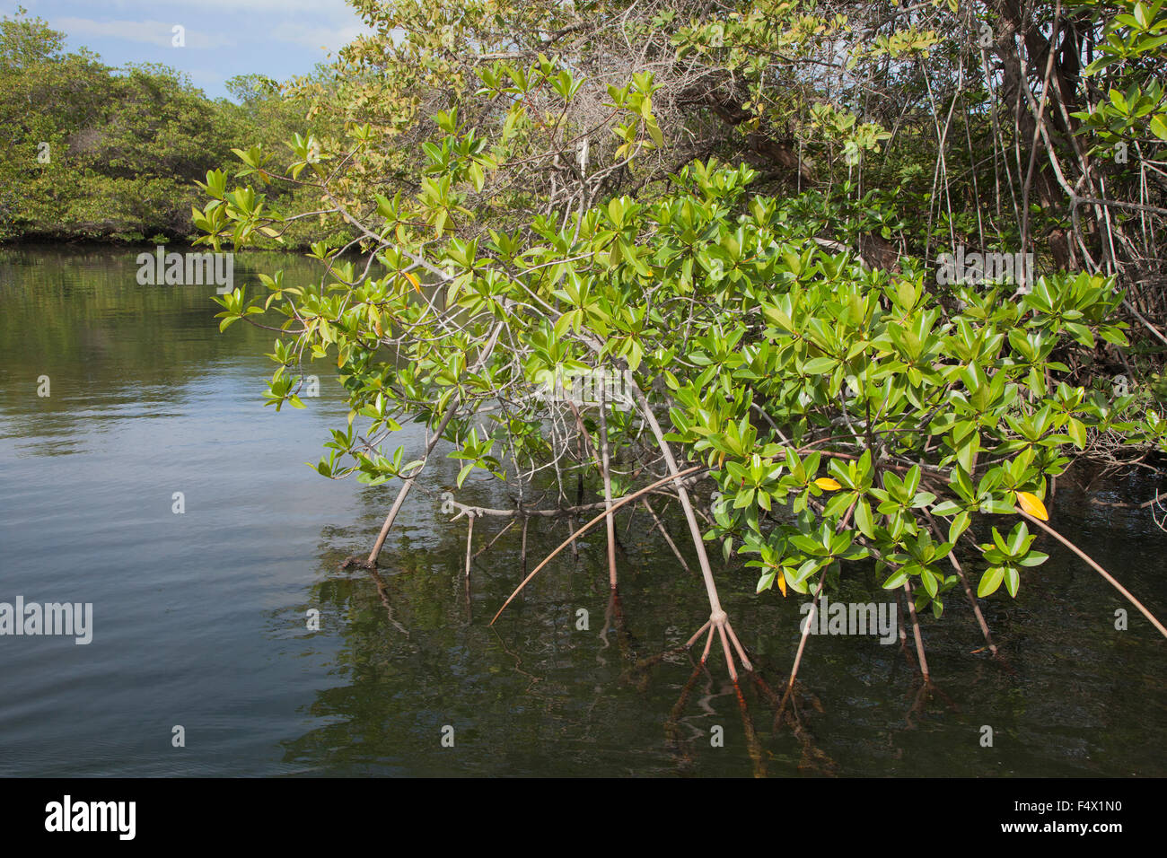 Red Mangrove (Rhizophora mangle) with aerial prop roots in intertidal zone of Black Turtle Cove, an estuary on Santa - Stock Image