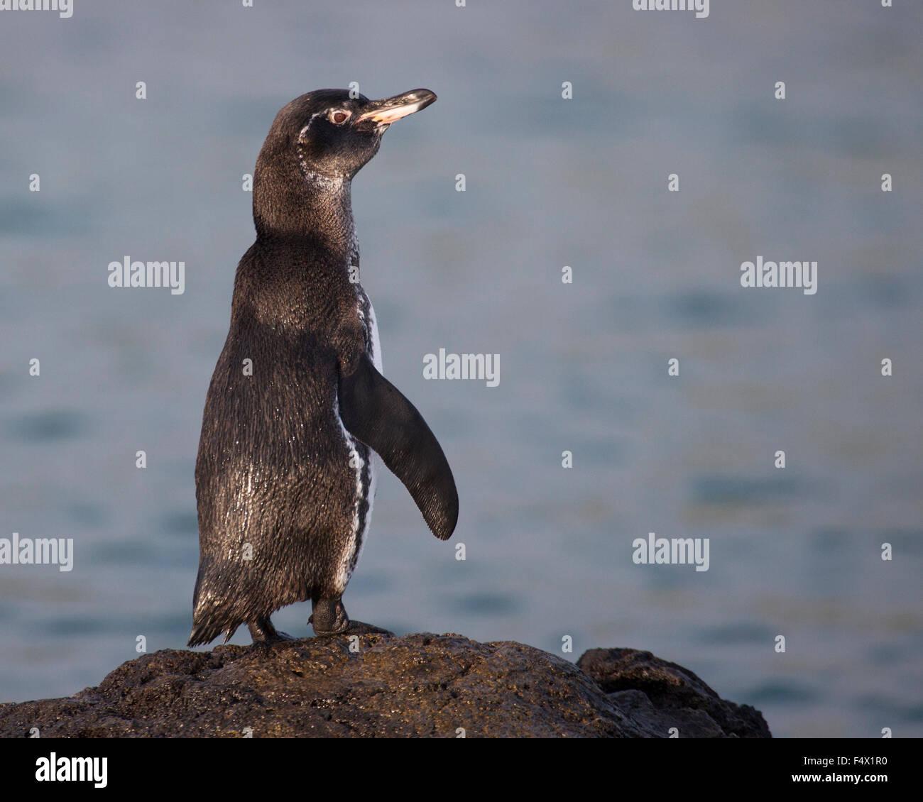 Galapagos Penguin (Spheniscus mendiculus) - Stock Image