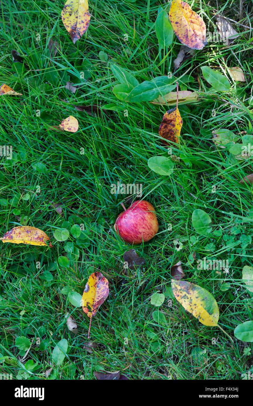 Malus domestica. Fallen Red Apple in the grass Stock Photo