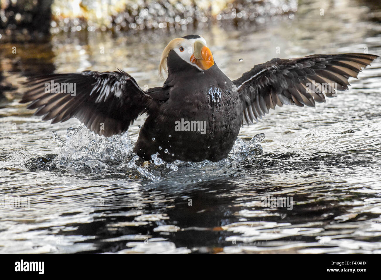 A tufted puffin / crested puffin with summer plumage / Fratercula with an orange beak splashes in Alaska | Seward - Stock Image