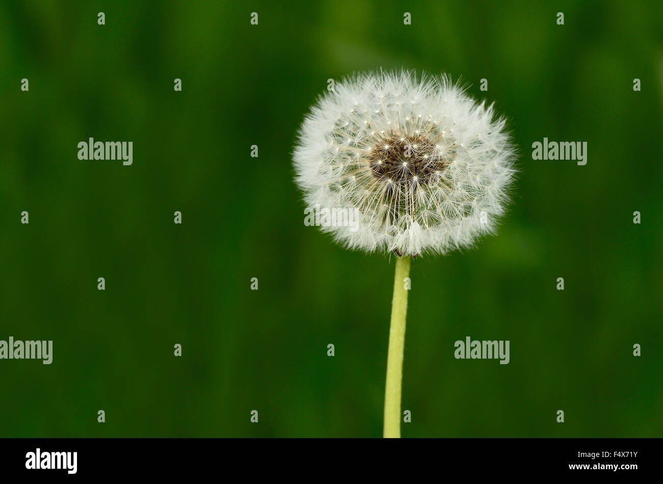 A close up macro image of a dandelion head gone to seed on a dark green background. - Stock Image