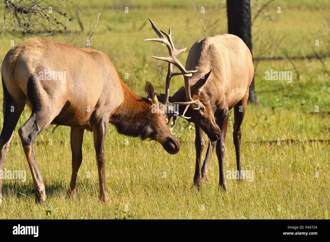 Two bull elk , Cervus elaphus, fighting in a meadow - Stock Image