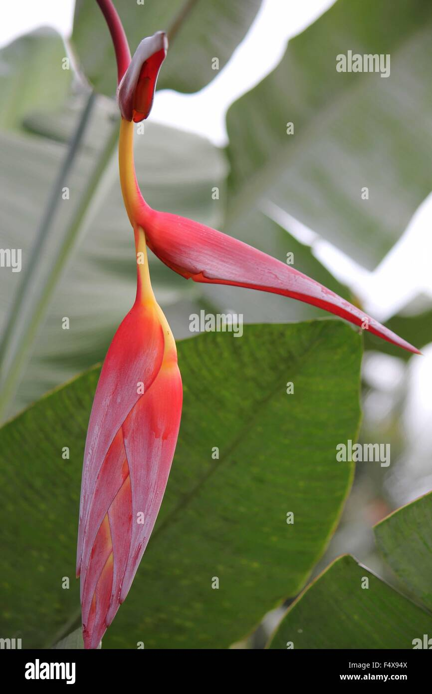 Close up of red and yellow Heliconia Pendula, Hanging Crab Claw Flower, seen in Indonesia, Sulawesi - Stock Image