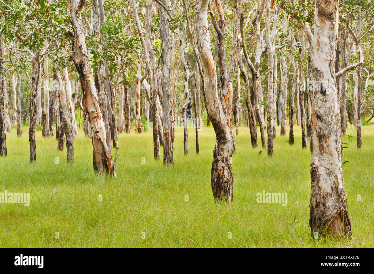 Forest of Paperbark Trees in Queensland. - Stock Image