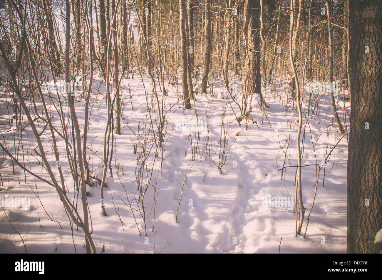 Animal tracks in the snow in the winter forest - Stock Image