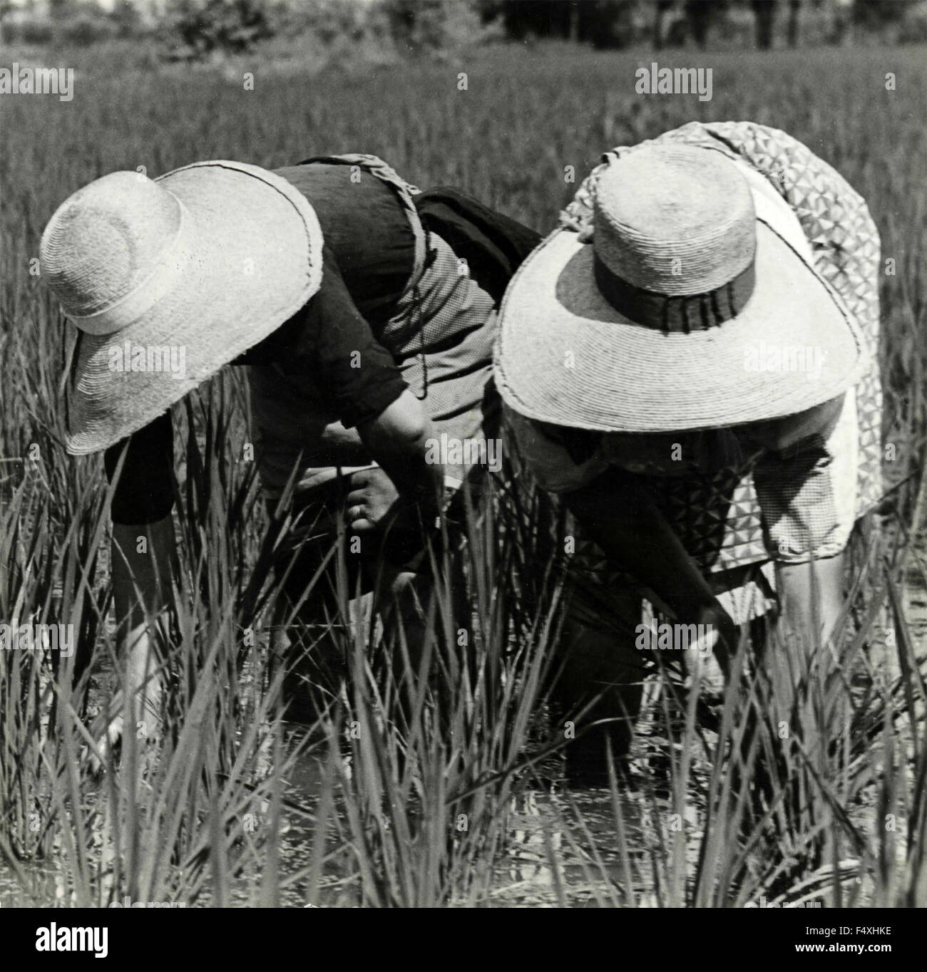 Two peasant women with big straw hats bowed to weed, Italy - Stock Image