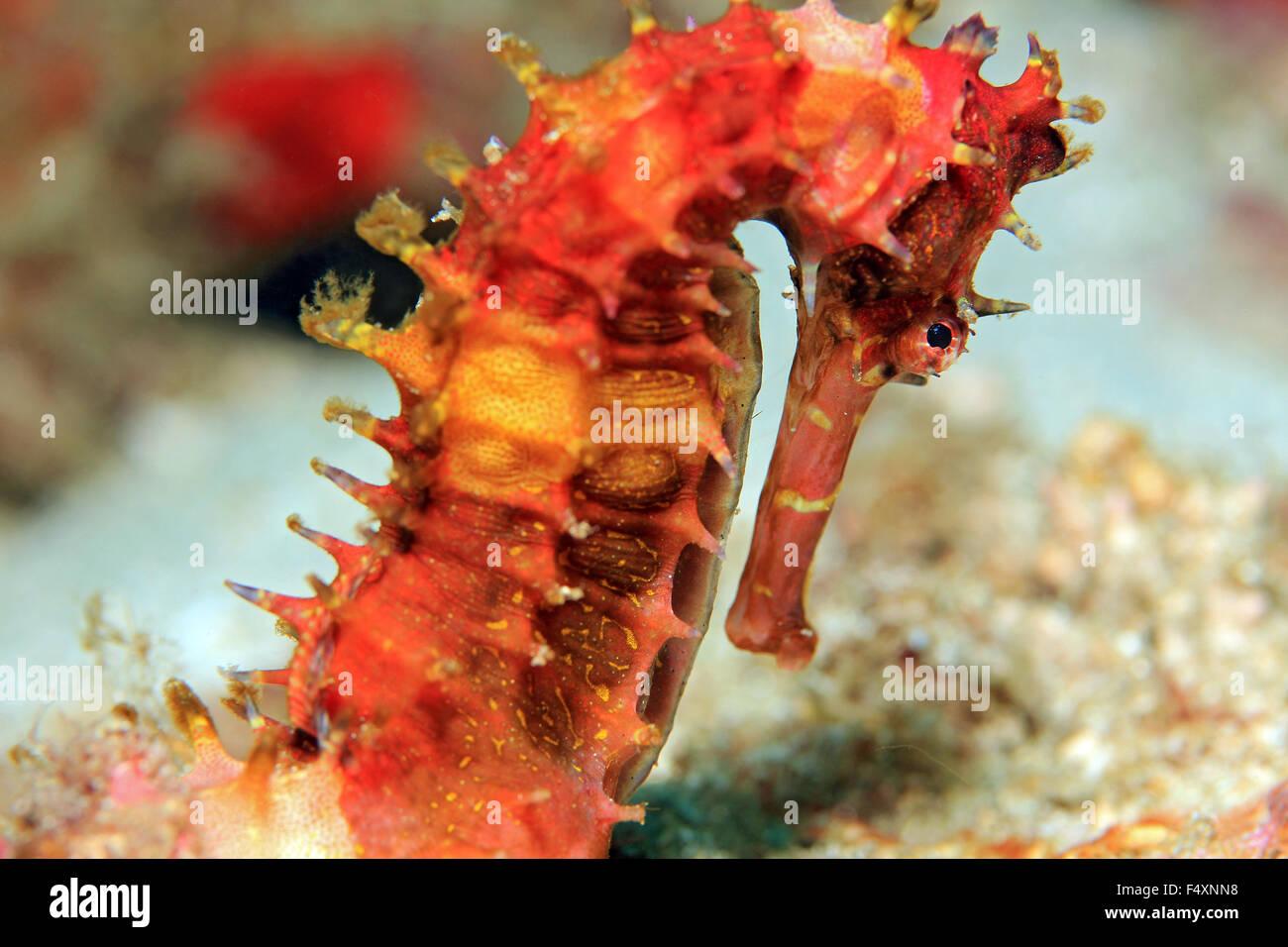 Spiny Seahorse Hippocampus Histrix Aka Thorny Seahorse Padang Stock Photo Alamy