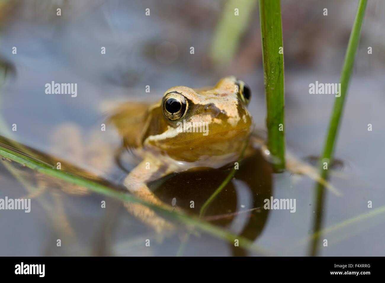 Common Frog Rana temporaria Single in Pond Cornwall; UK - Stock Image