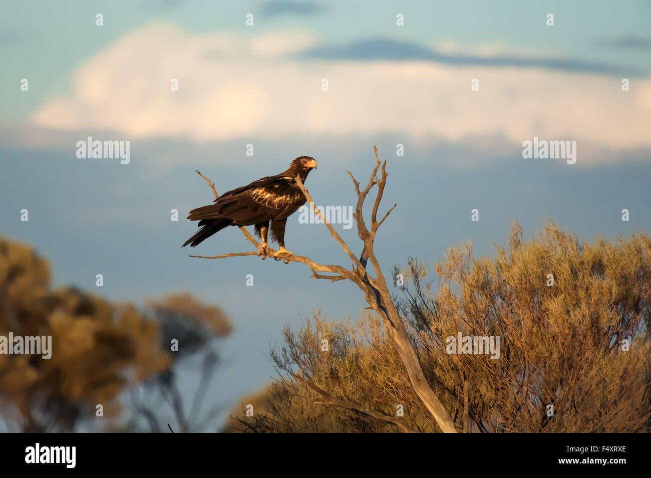 Wedge-tailed Eagle (Aquila audax) Great Victoria Desert, Australia. - Stock Image
