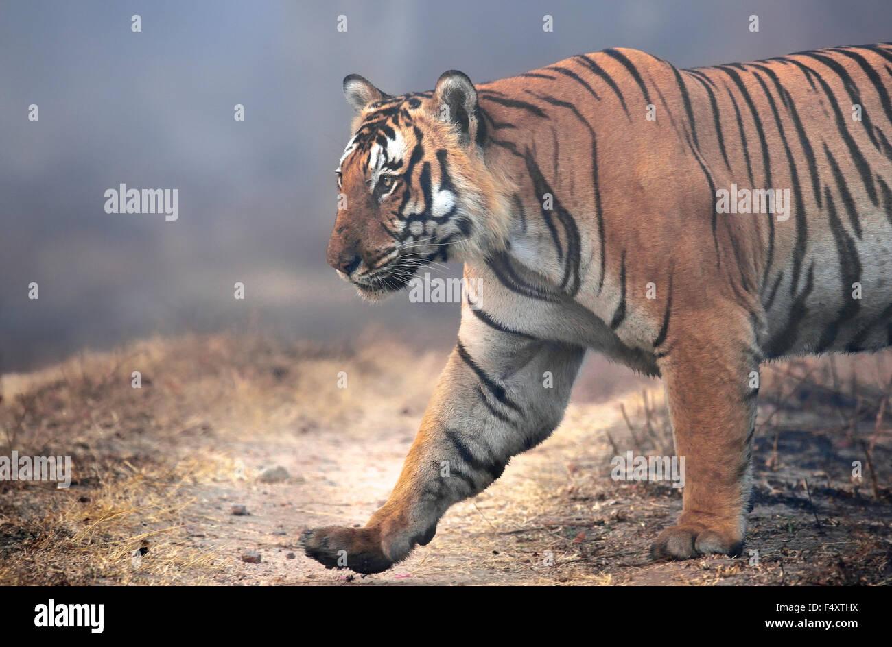 HUGE TIGER ! A big tiger covered in mist ! - Stock Image