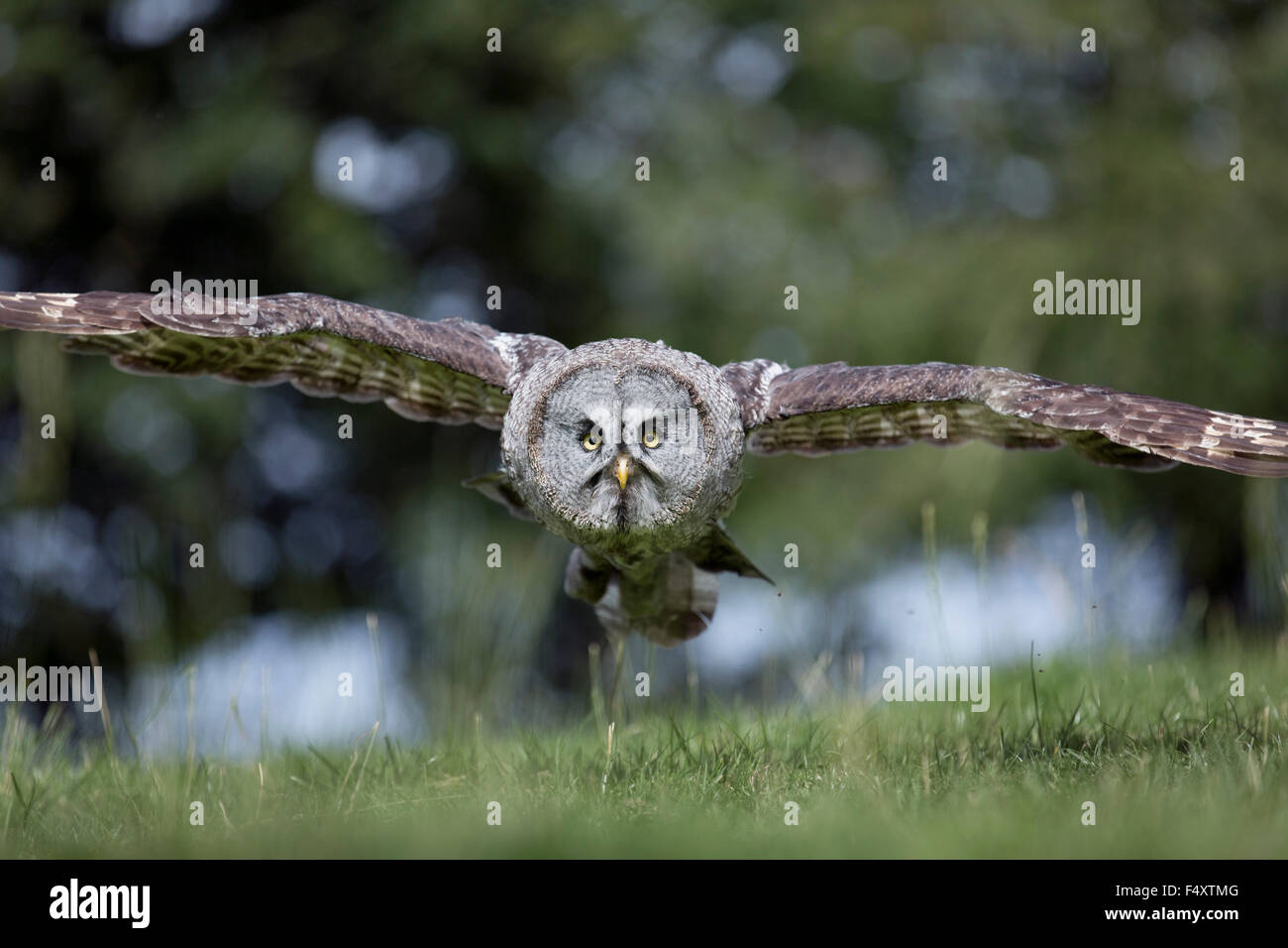 Great Grey Owl; Strix nebulosa Single; in Flight; UK - Stock Image