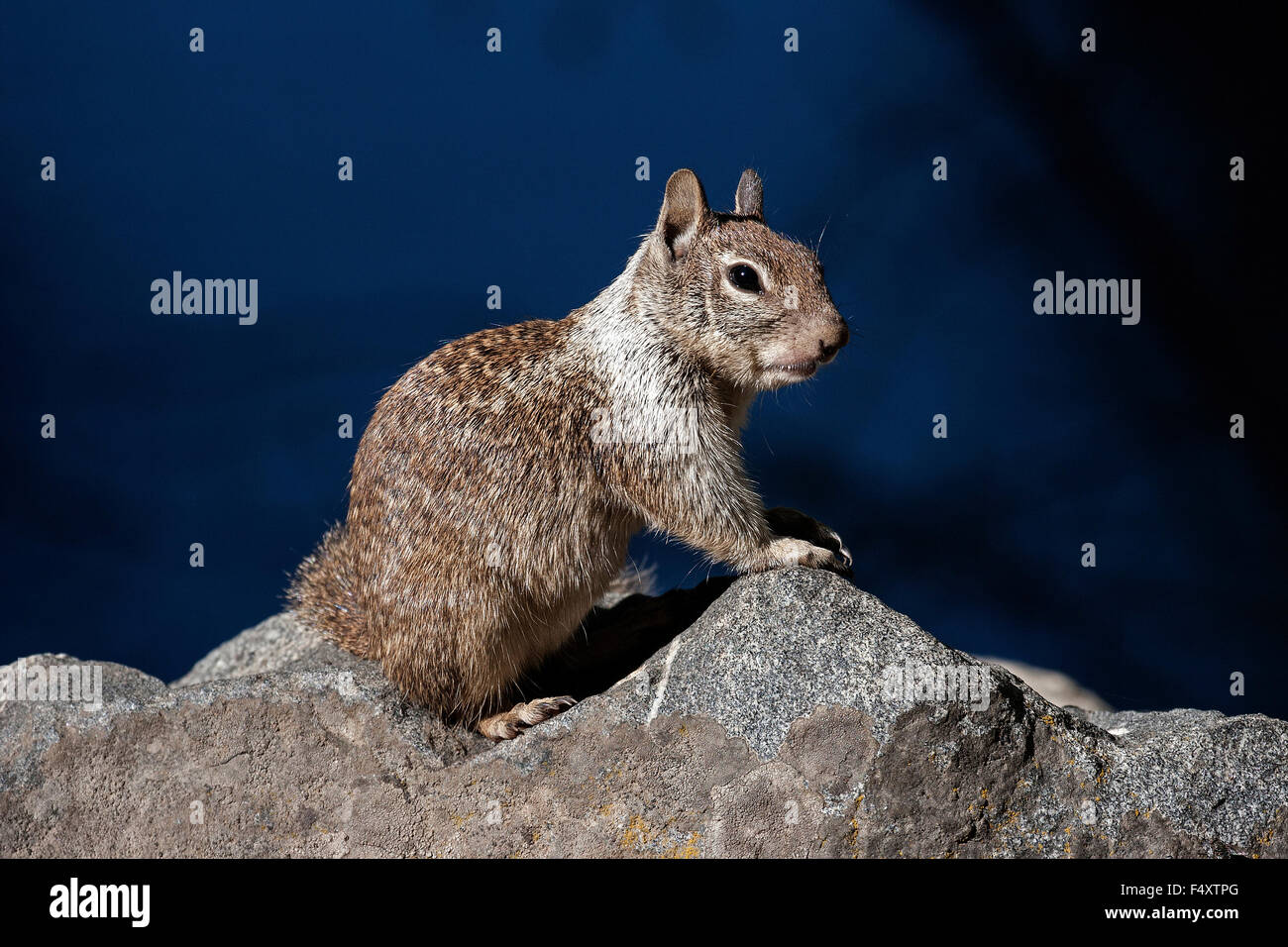 Californian ground squirrel (Citellus beecheyi), Yosemite National Park, California, USA - Stock Image