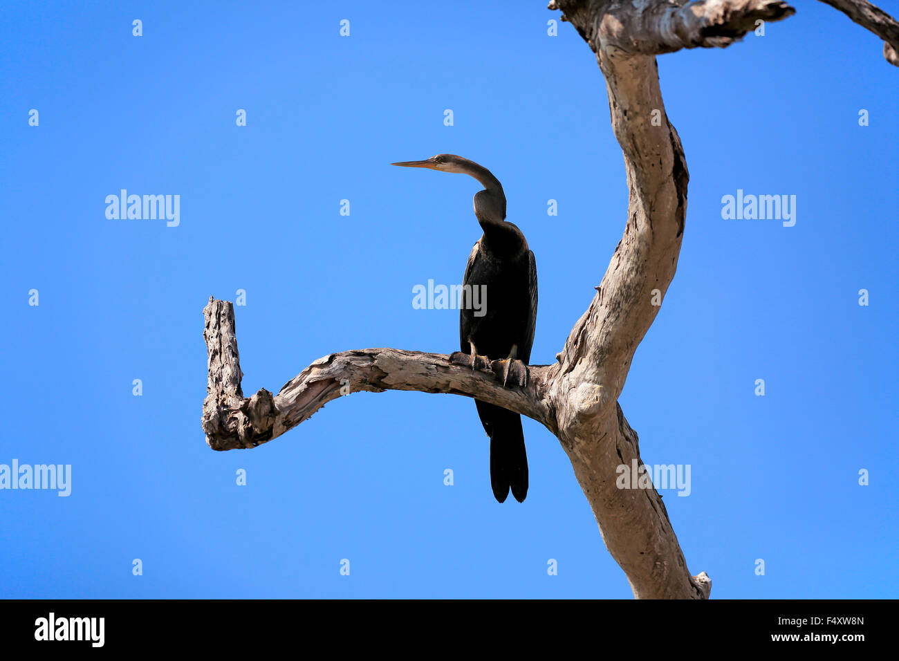 Oriental darter (Anhinga melanogaster), adult, on the lookout, Bundala National Park, Sri Lanka - Stock Image