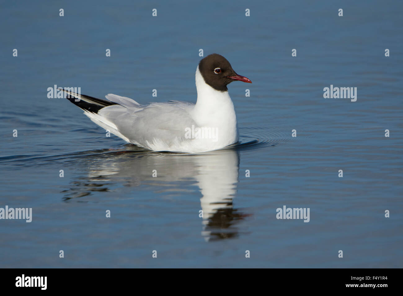 An adult Black Headed Gull in breeding plumage swimming in blue water with reflection. Rye Harbour Nature Reserve, Stock Photo