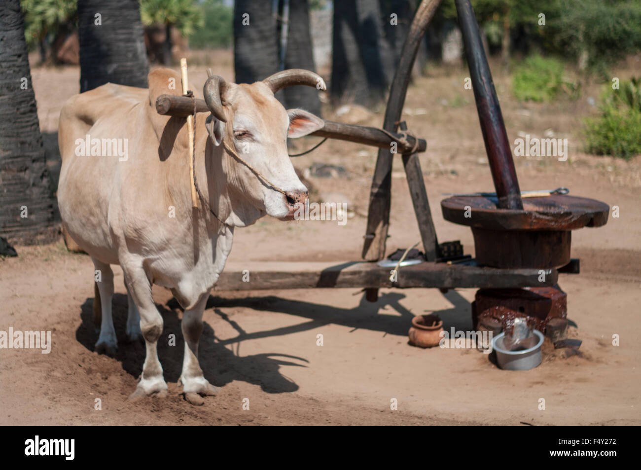 Zebu oxen wearing a yoke harness, ready to walk in a circle to drive a traditional peanut oil mill in central Myanmar - Stock Image
