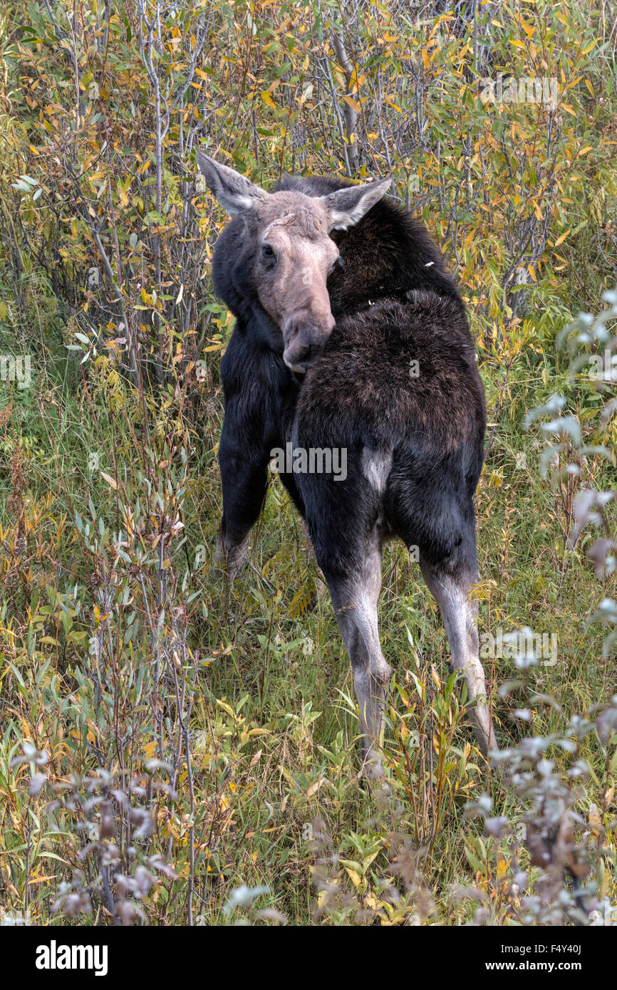 Moose cow grooming and feeding in willow - Stock Image