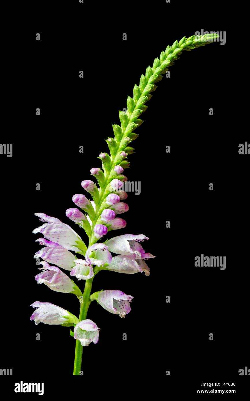 Physostegia virginiana, knows as Obedient Plant, or false dragonhead) is a species of flowering plant in the mint - Stock Image