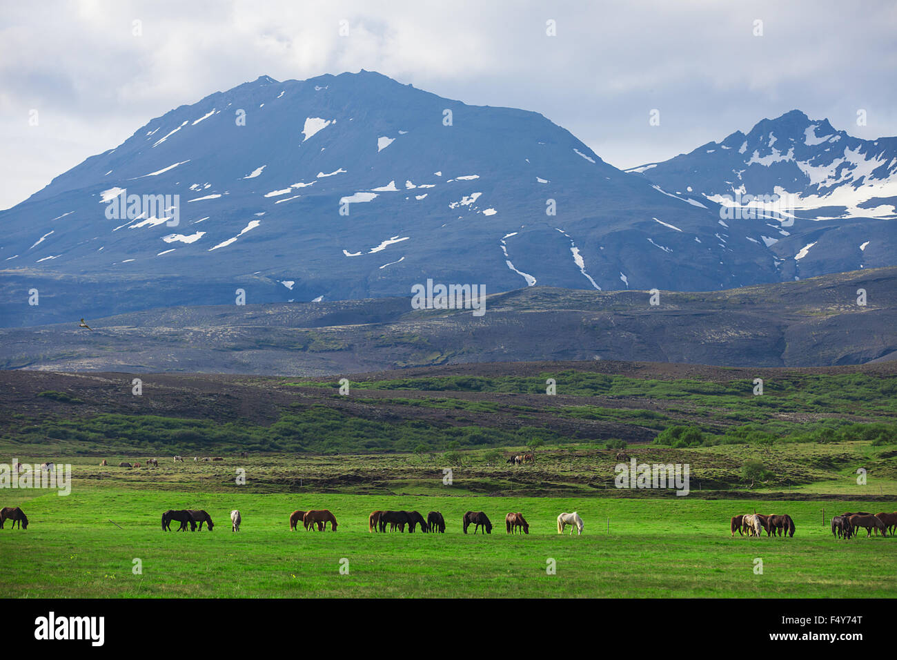 Icelandic Horses in a field - Stock Image