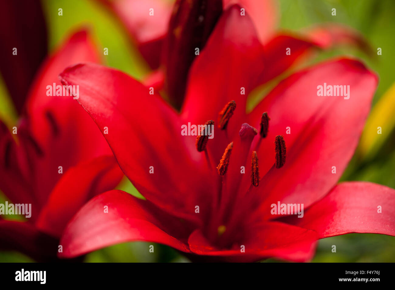Red lily stamens macro large flower deciduous perennial plant in red lily stamens macro large flower deciduous perennial plant in the liliaceae family flowers grow in poland europe bloom mightylinksfo