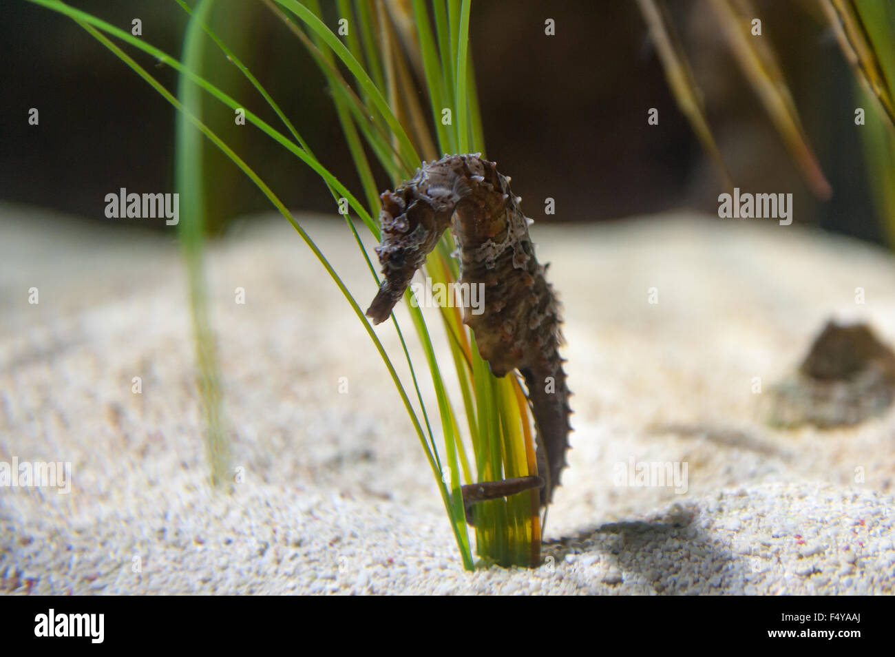 lined seahorse Hippocampus erectus northern seahorse holding onto sea grass with tail - Stock Image