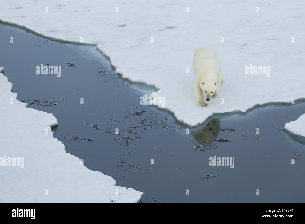 Greenland, Scoresby Sound, polar bear walks to edge of sea ice, reflection of bear in water. - Stock Image