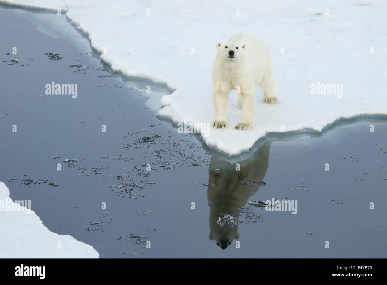 Greenland, Scoresby Sound, polar bear stands on the edge of sea ice, looking up with reflection in the water. - Stock Image