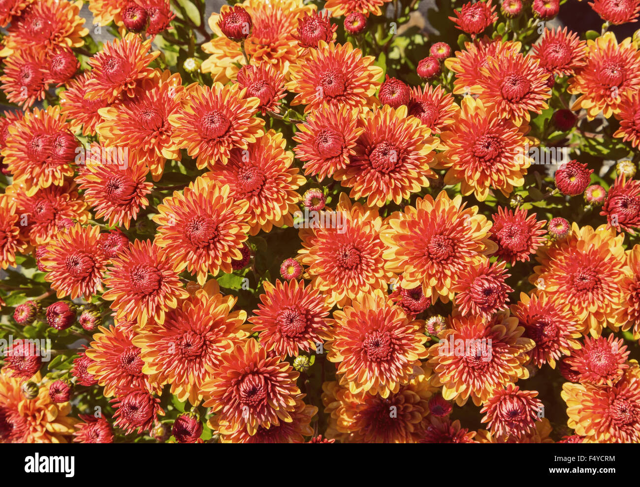 Autumn Mums or Chrysanthemums for flower background - Stock Image