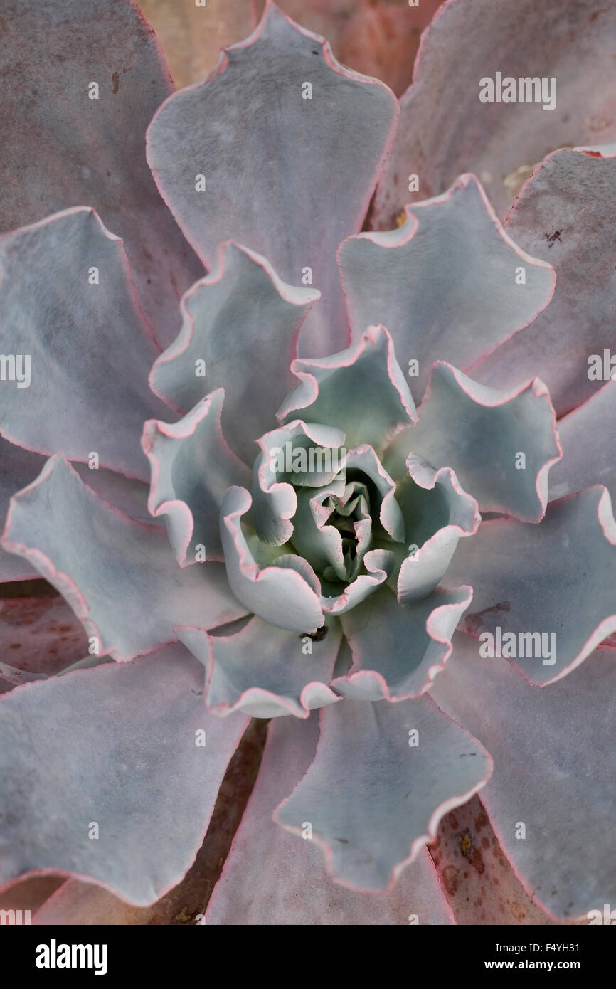 Echeveria 'Afterglow' from above. growing in a protected environment. - Stock Image