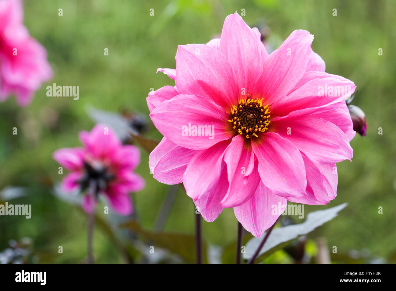 Dahlia 'Fascination' growing in an herbaceous border. - Stock Image