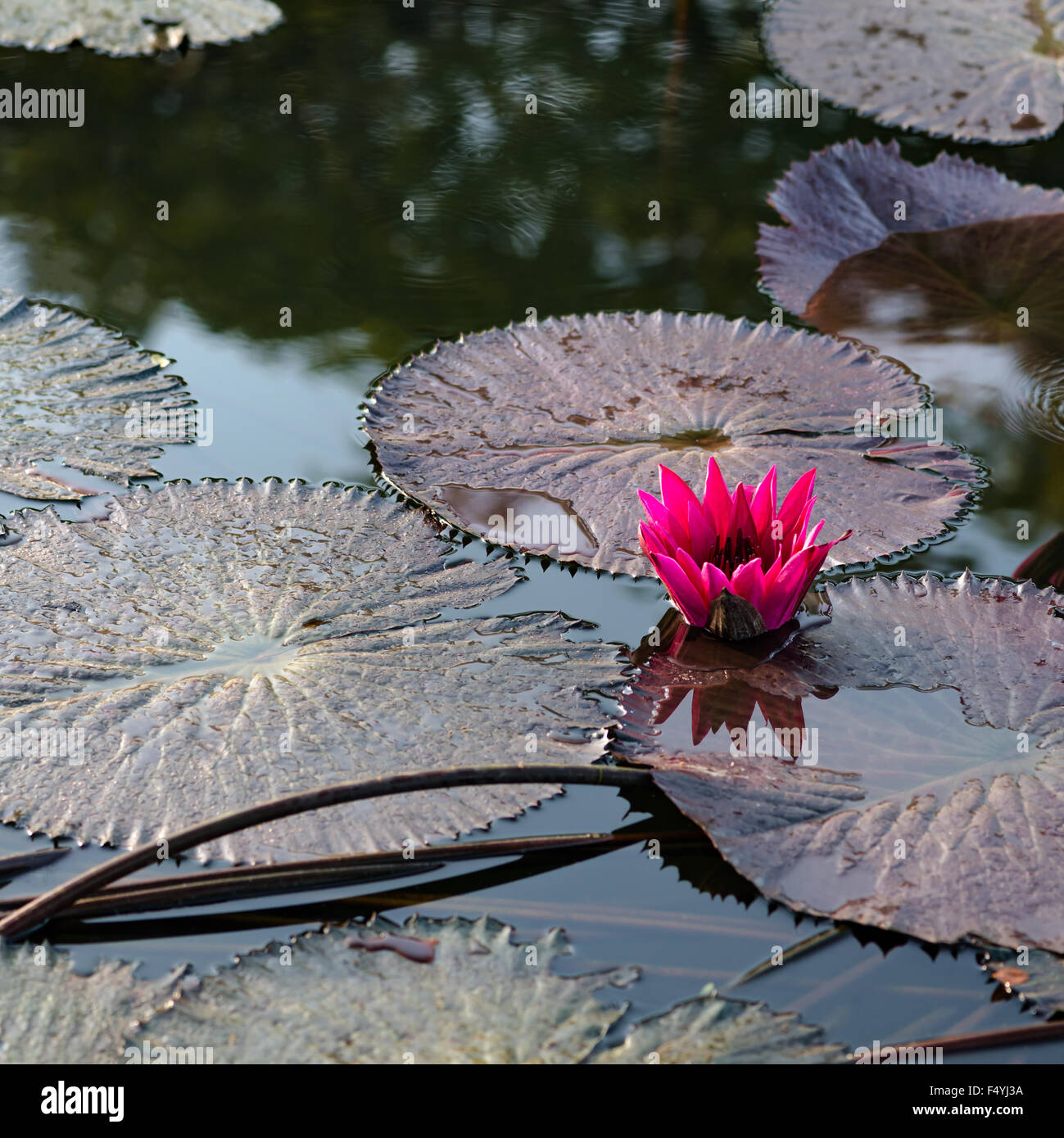 Single Water Lily Lotus Flower Pond Square Composition Stock Photo