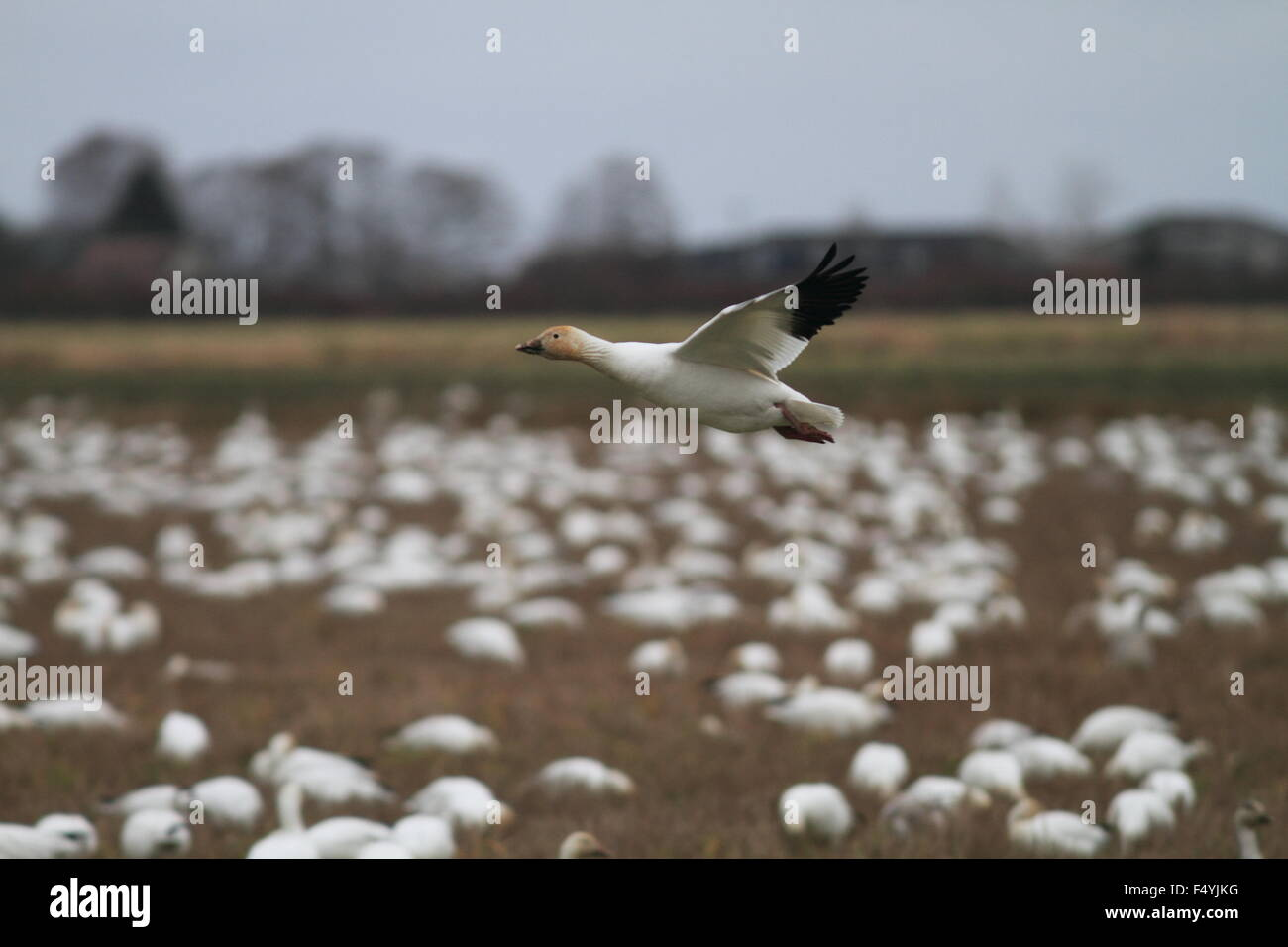 Snow Goose flocks (Chen caerulescens) in Vancouver,Canada - Stock Image