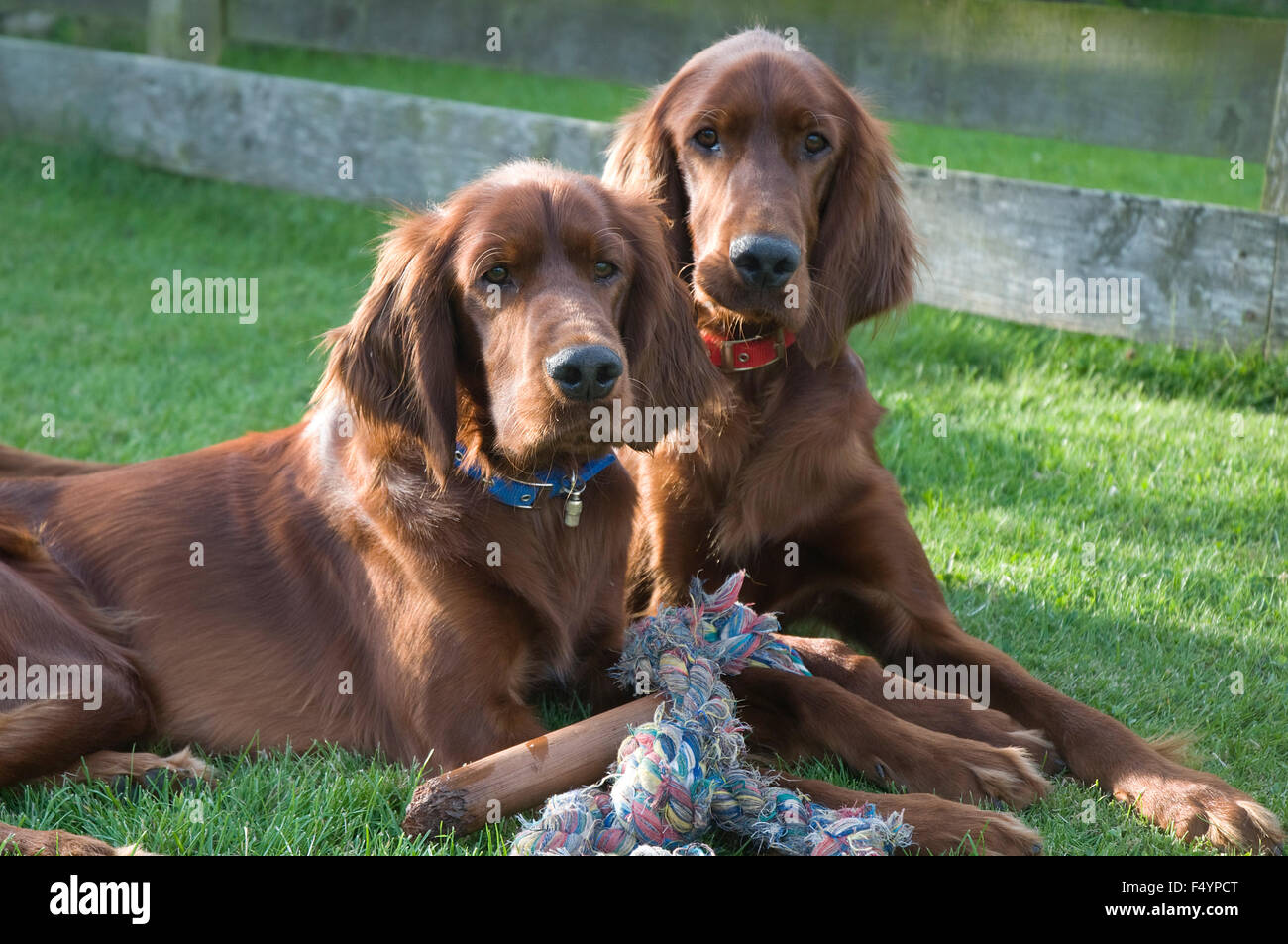 Two young Irish Setters - Stock Image