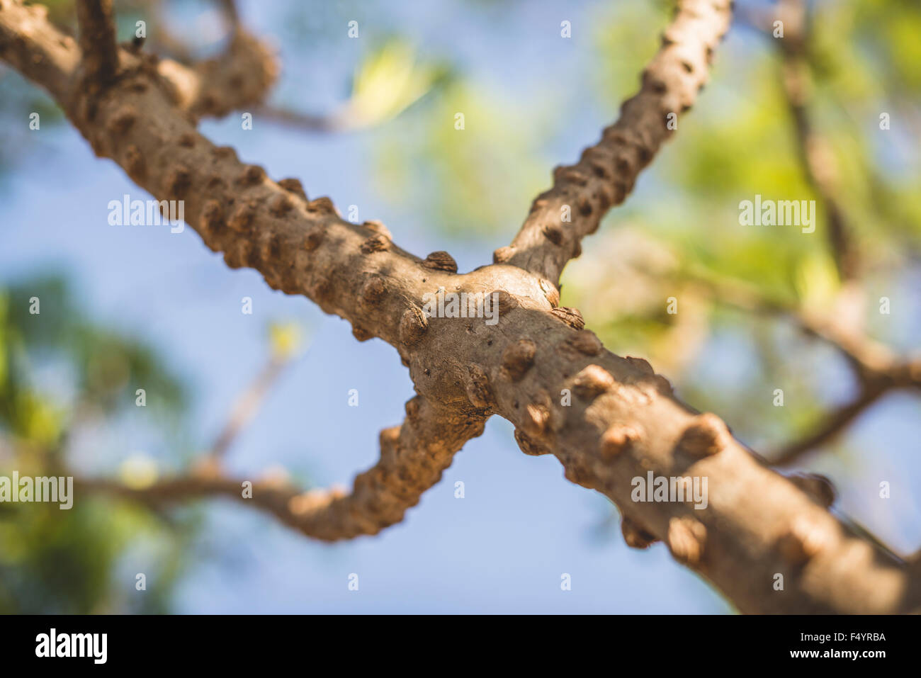 Close-up on frangipani branch, covered with bumps Stock Photo