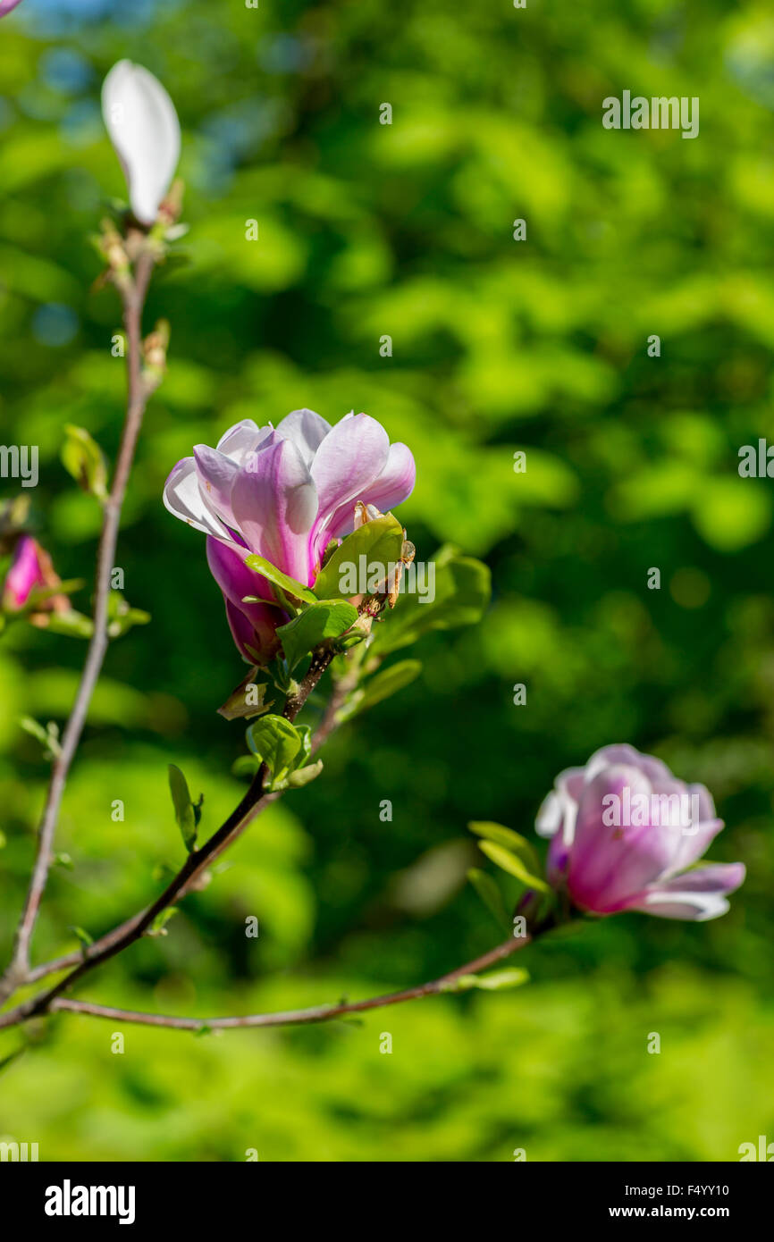 Flowering Magnolia Tree Stock Photos & Flowering Magnolia Tree Stock ...