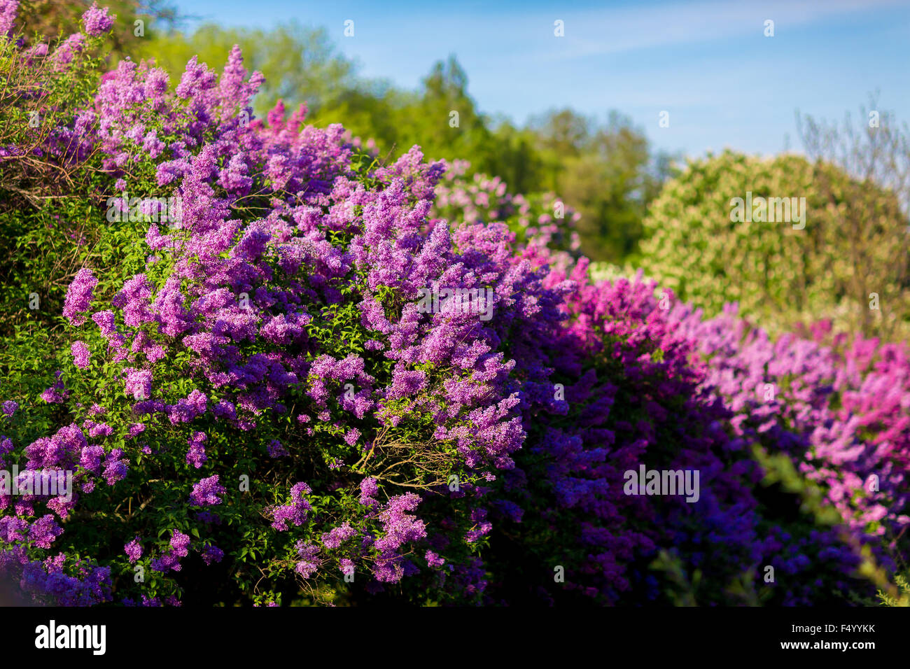 Bunch of violet lilac flower in sunny spring day in front of blue sky - Stock Image