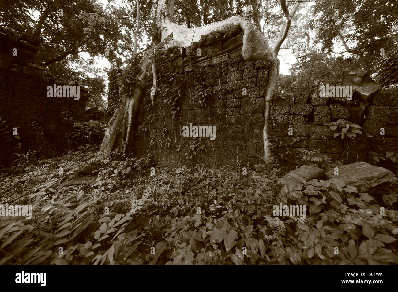 Ultra wide angle of a tree root framing a ruin wall in Banteay Cchmar, Cambodia - Stock Image