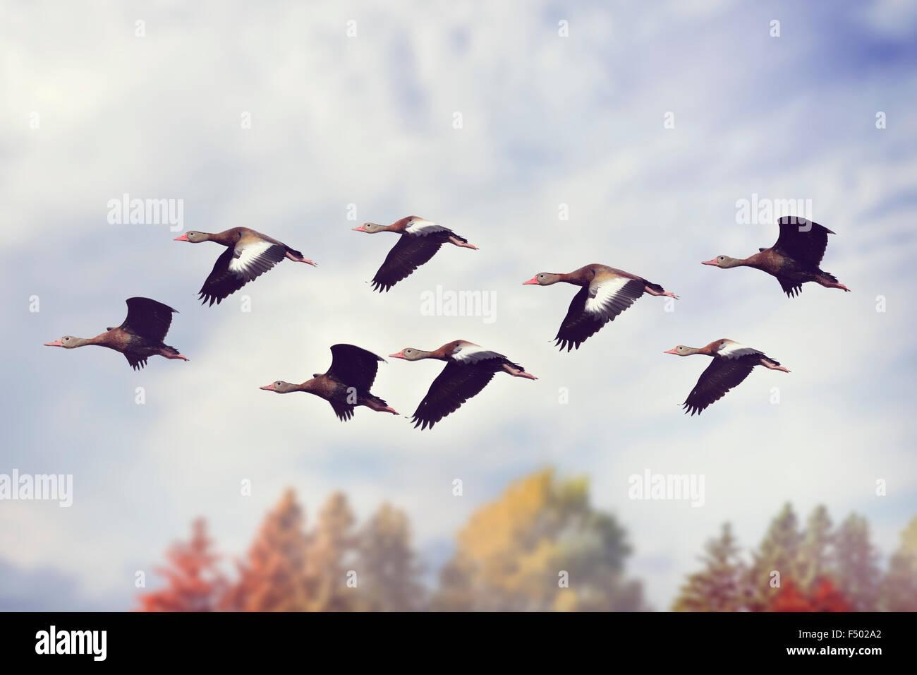 Flock of Black-bellied Whistling Ducks - Stock Image