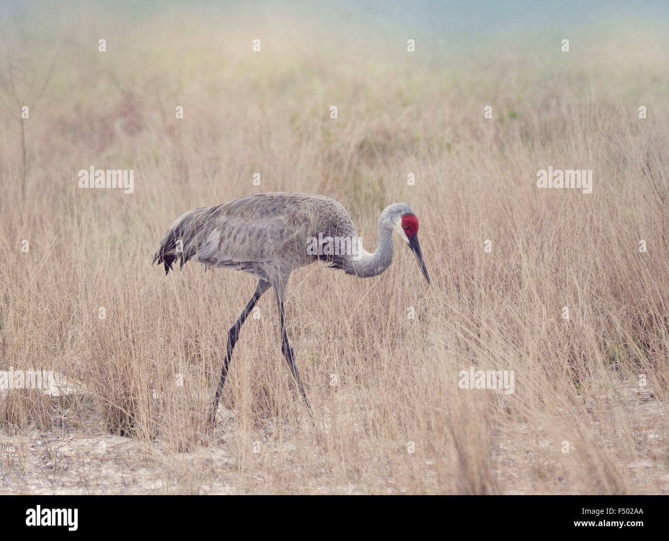 Sandhill Cranes Walking through Tall Grass - Stock Image